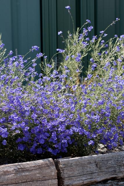 growing australian native plants in your garden